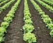 3rd Sunday of Advent Garden Lettuce